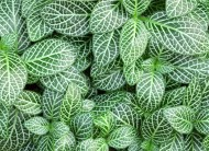 Fitonia - Fittonia.